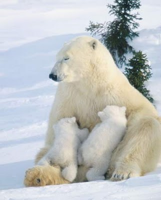 polar bear's cubs