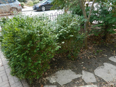 MacPherson Avenue front garden makeover before by Paul Jung Gardening Services Toronto