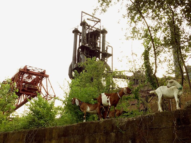 The Steel City Grazers herd at the historic Carrie Furnace steel mill