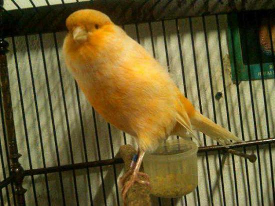 gambar jual anakan burung kenari yorkshire amp kenari