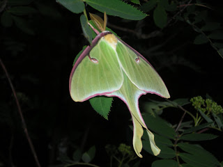 Luna Moth photo, http://huismanconcepts.com/, works of art, woodcarving, custom doors