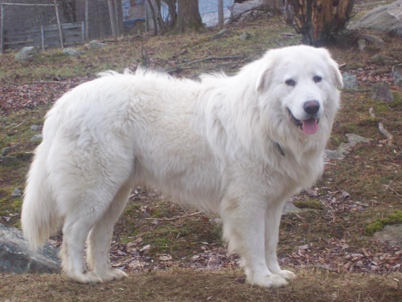 Livestock Guardian Dog For Sale