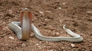 Ular Kobra Filipina