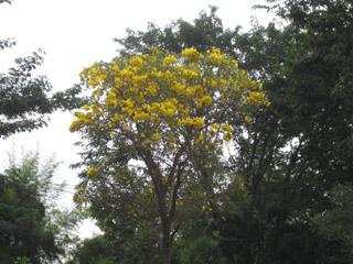 Tabebuia chrysotricha