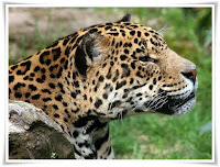 Jaguar Animal Pictures
