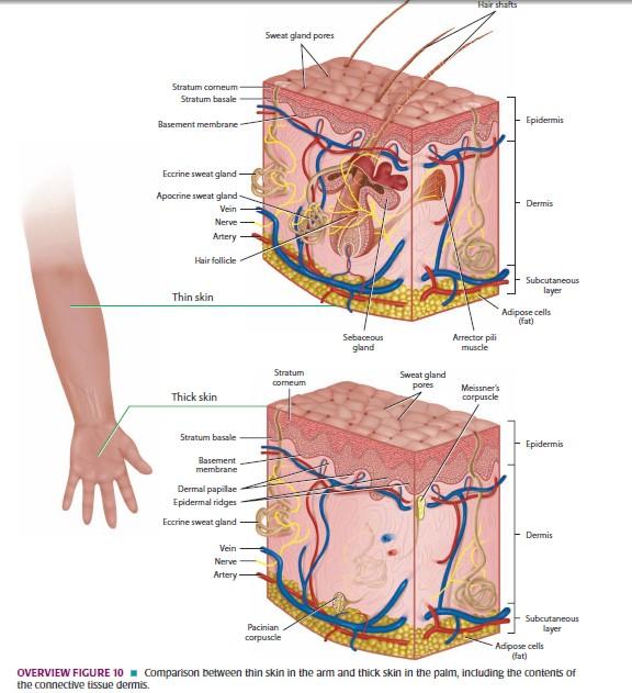 Histology:Sistem Integumen (integument system)