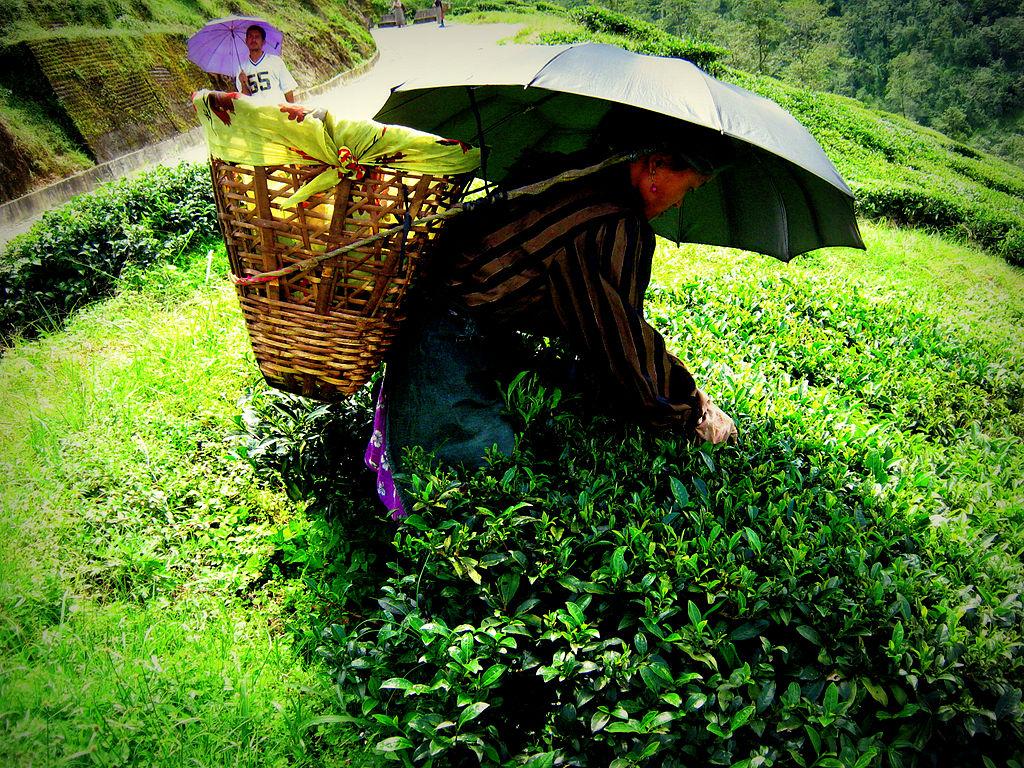 http://4.bp.blogspot.com/-Y6Yw4fhSzw4/T6If30Cij_I/AAAAAAAADp8/RfPpzEyij2A/s1600/1024px-Darjeelingteagardens.jpg