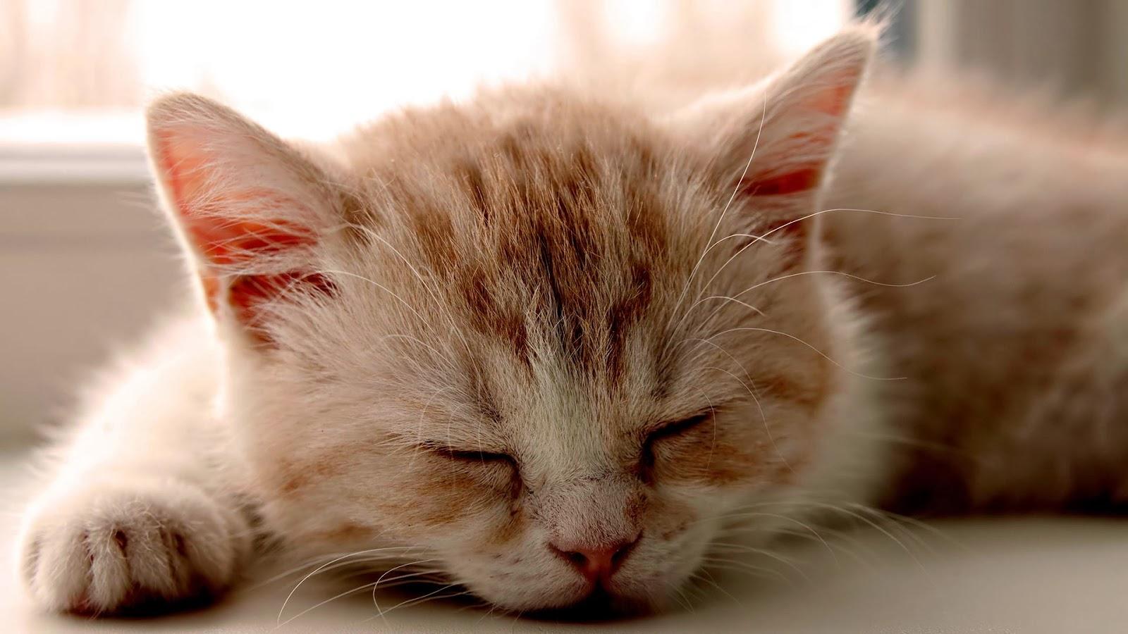 Puppy Sleeping With A Kitten Wallpaper WallDevil