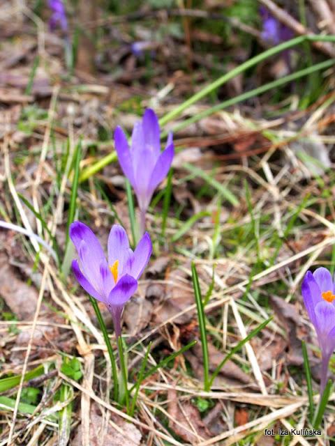 krokusy , orawa , wiosna , kwiaty
