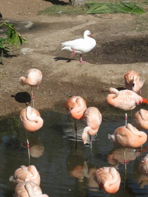 A duck trying to be flamingo, funny duck, duck pictures, flamingo