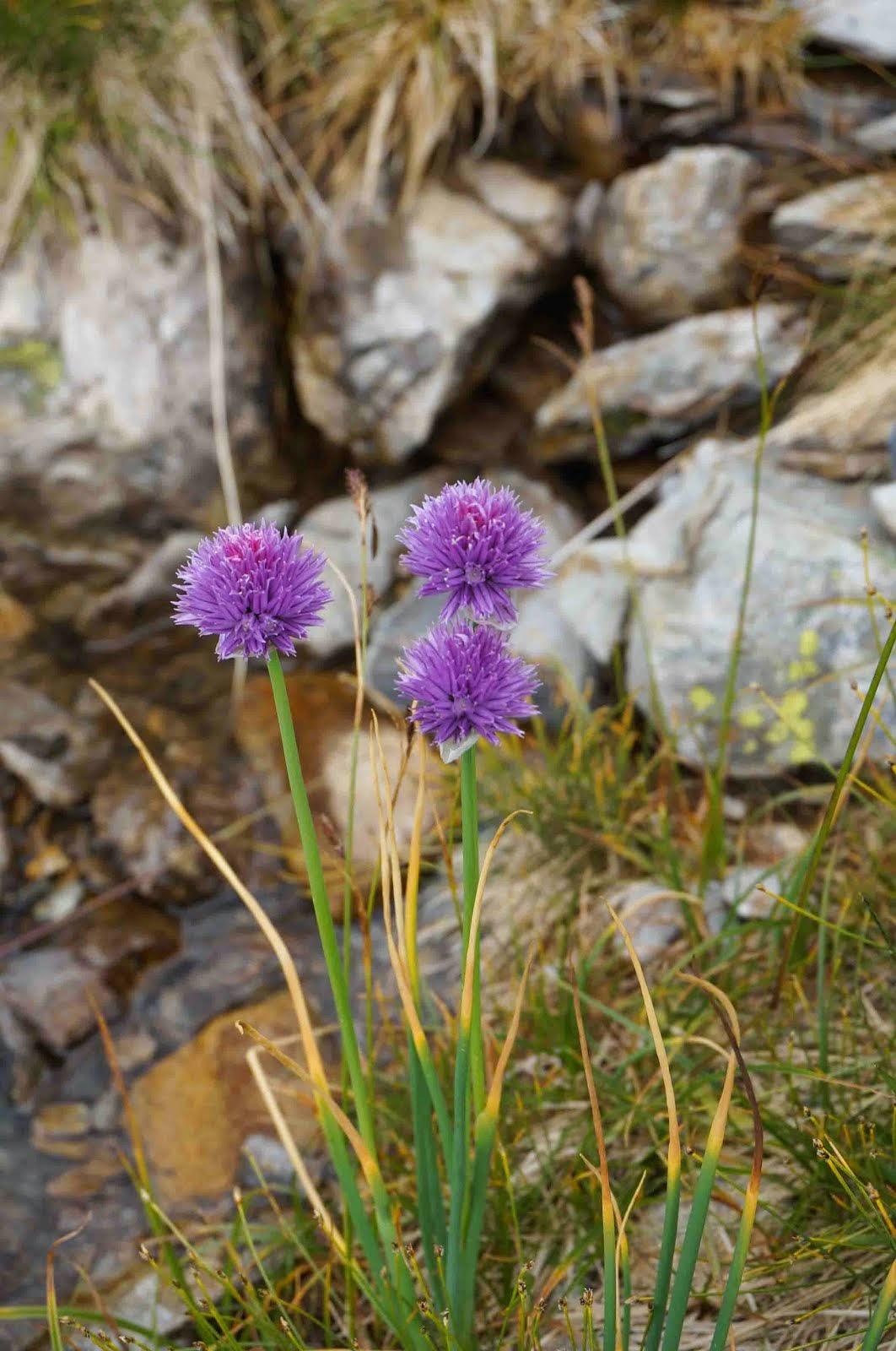 Allium schoenoprasum (Porro sottile)