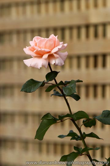 Single peach-coloured rose and trellis photograph