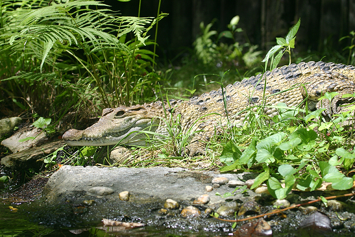 Philippine crocodile - photo#27