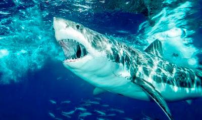 ikan hiu putih (Carcharodon carcharias) pemangsa manusia