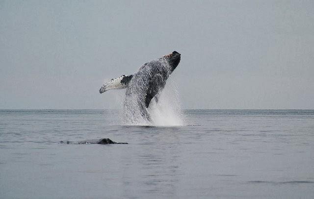 Balena cu cocoasa