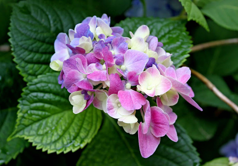 Multi-Colored Hydrangea