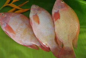 Jual Ikan Segar Hidup Ikan Mujair Gurame Nila Lele Belut Lindung Di Jakarta