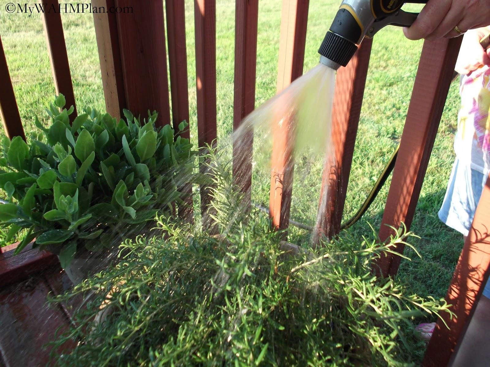 Summer watering #herbs #gardening