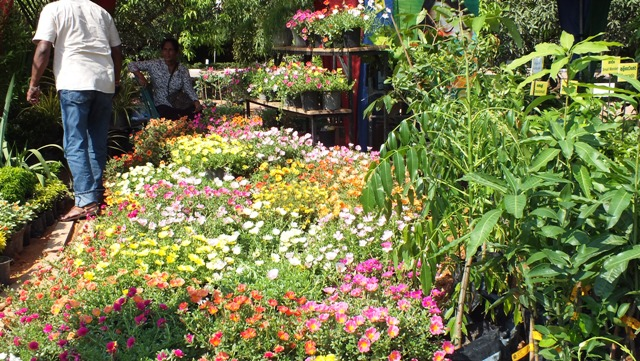 Philipveerasingam flower plants for sale waters edge for Landscaping plants in sri lanka