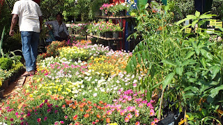 Philipveerasingam flower plants for sale waters edge for Sri lankan landscaping plants