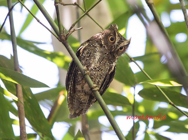 Sulawesi Scops Owl (Otus manadensis)