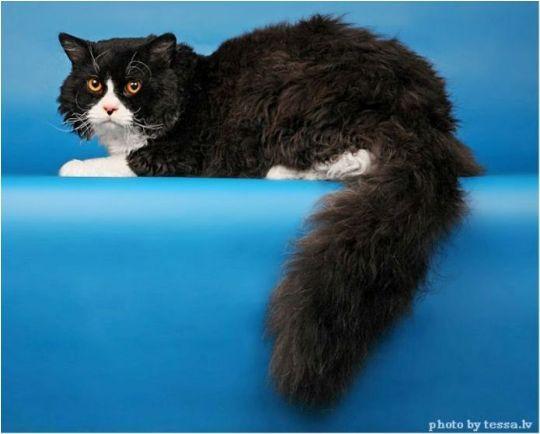 Kucing selkirk rex lh longhair adalah jenis kucing dengan rambut ikal