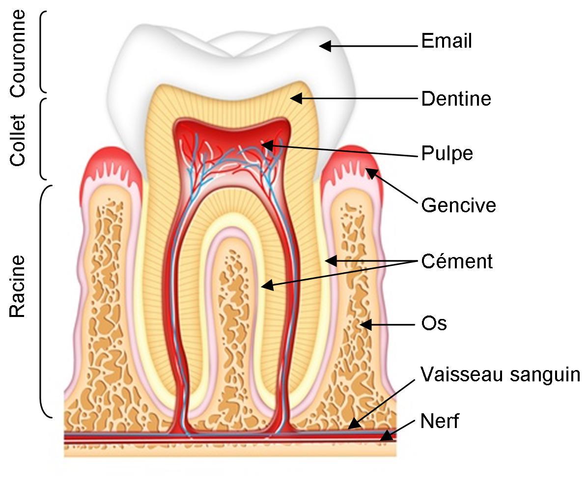 Du dentifrice sur nos dents qu 39 est ce qu 39 une dent - Qu est ce qui provoque une fausse couche ...