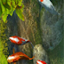 Koi Fish 3D Screensaver 2.00 With Serial Key
