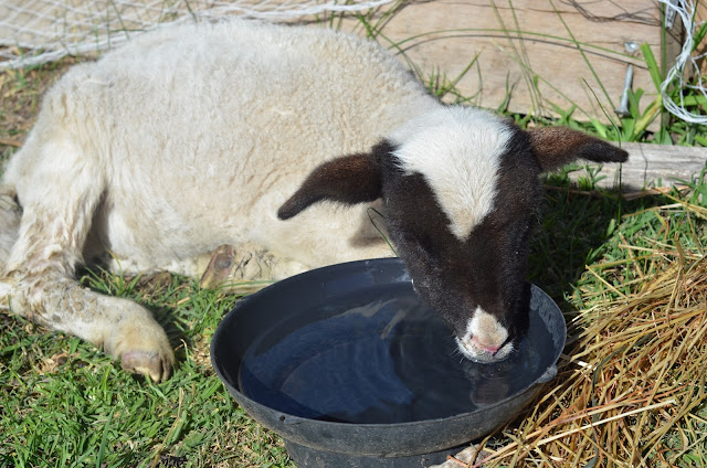 A two month old lamb