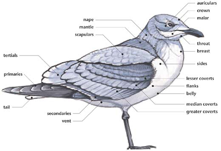 Featherless: Gull Design
