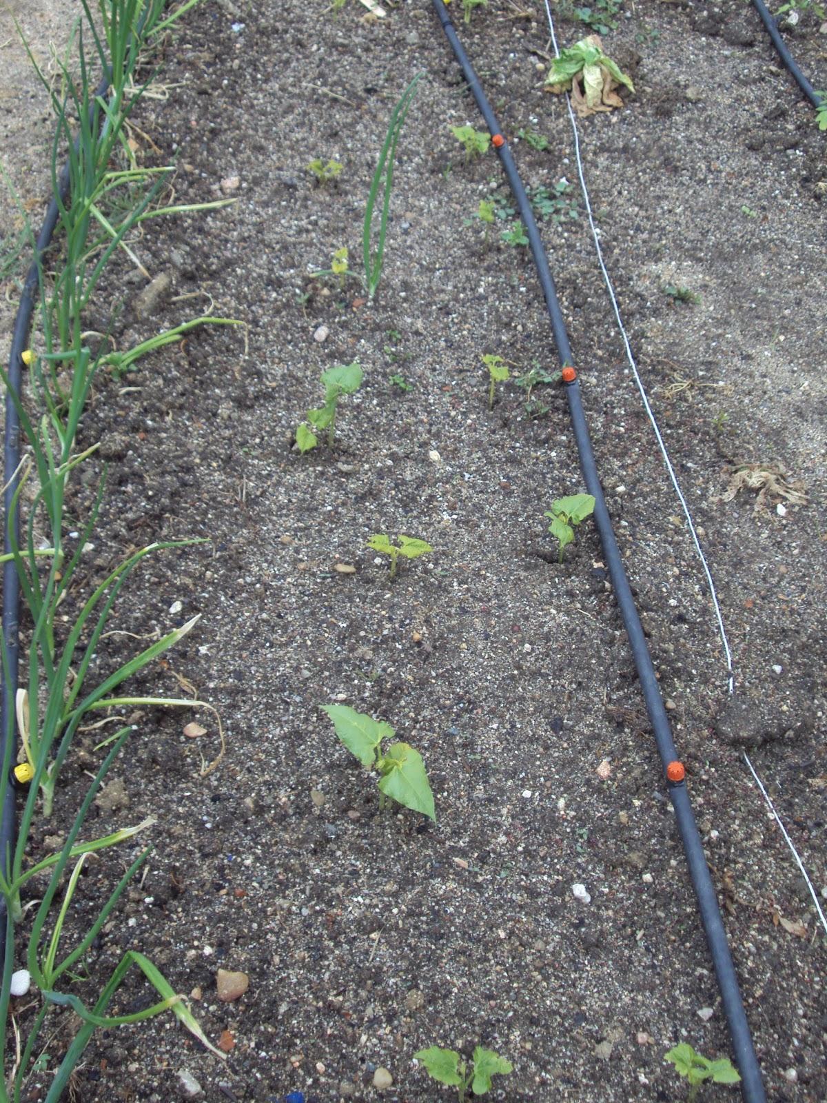 En torno al huerto gu a de plantas el huerto en abril - Cultivar judias verdes ...
