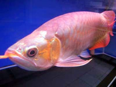 Ikan Arwana Super Red Albino