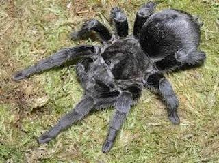 tarantula, caranguejeira, negra, Brasil