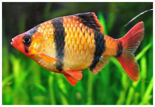 Aquarium fish red tiger barb for Tiger barb fish