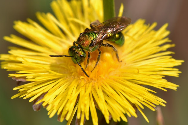 Metallic green bee with a hitchhiker - a triungulin
