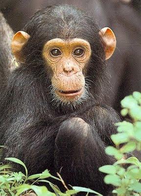 chimpanzee wallpaper