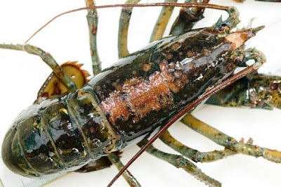 lobster-shell-disease-photo-2