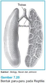 pernapasan paru paru reptil
