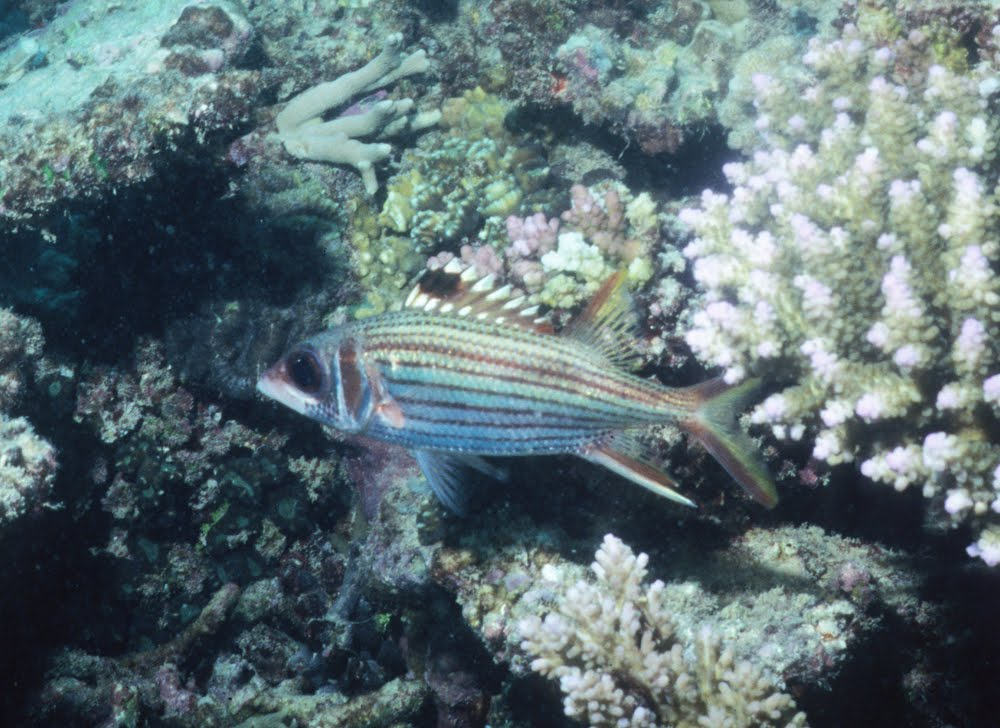 Spot-fin Squirrelfish
