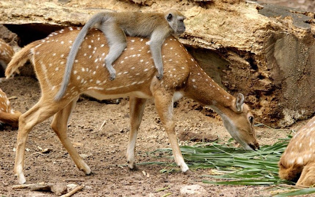 funny animal pictures, monkey rides deer