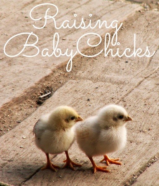 http://www.littlehouseliving.com/raising-baby-chickens-beginners-guide.html