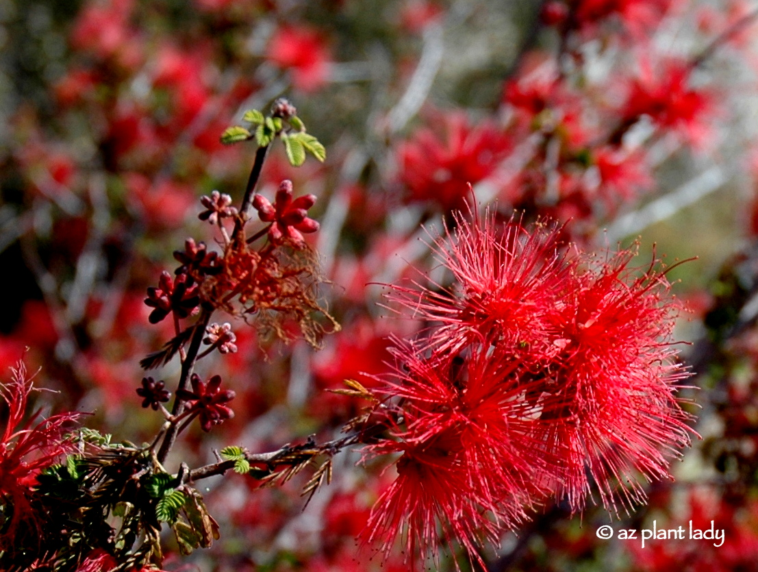 Baja Fairy Duster: Unique and Red - Ramblings from a Desert Garden