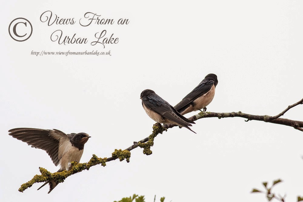 Three Swallows - Manor Farm, Milton Keynes