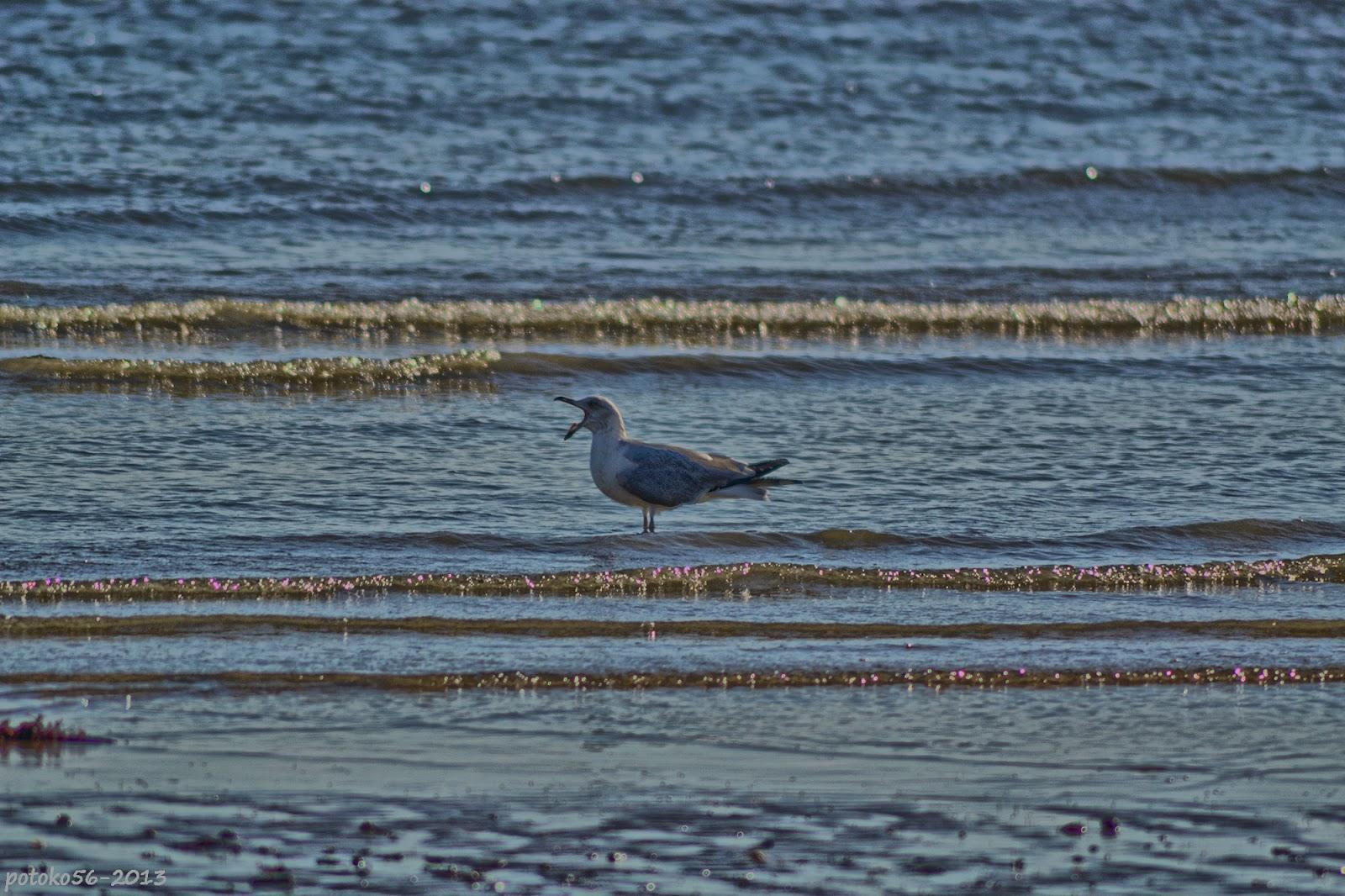 Gaviota en la orilla graznando Rota