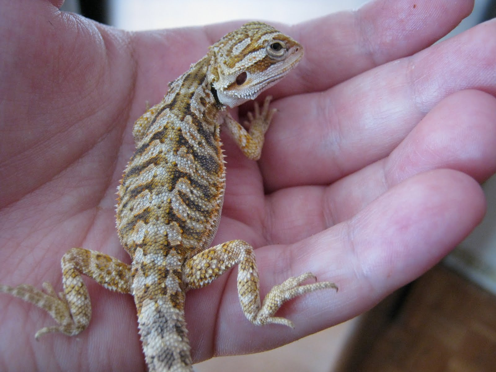 how to tell how old a bearded dragon is