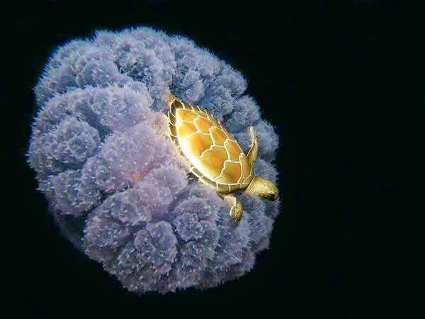 46 Unbelievable Photos That Will Shock You - A Turtle Riding a Jellyfish