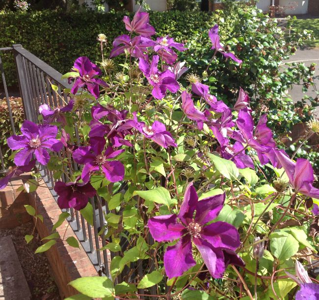 picture of flowers mauve, with leaves trailing over black metal balcony