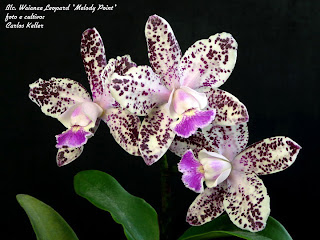 Blc. Waianae Leopard 'Melody Point'