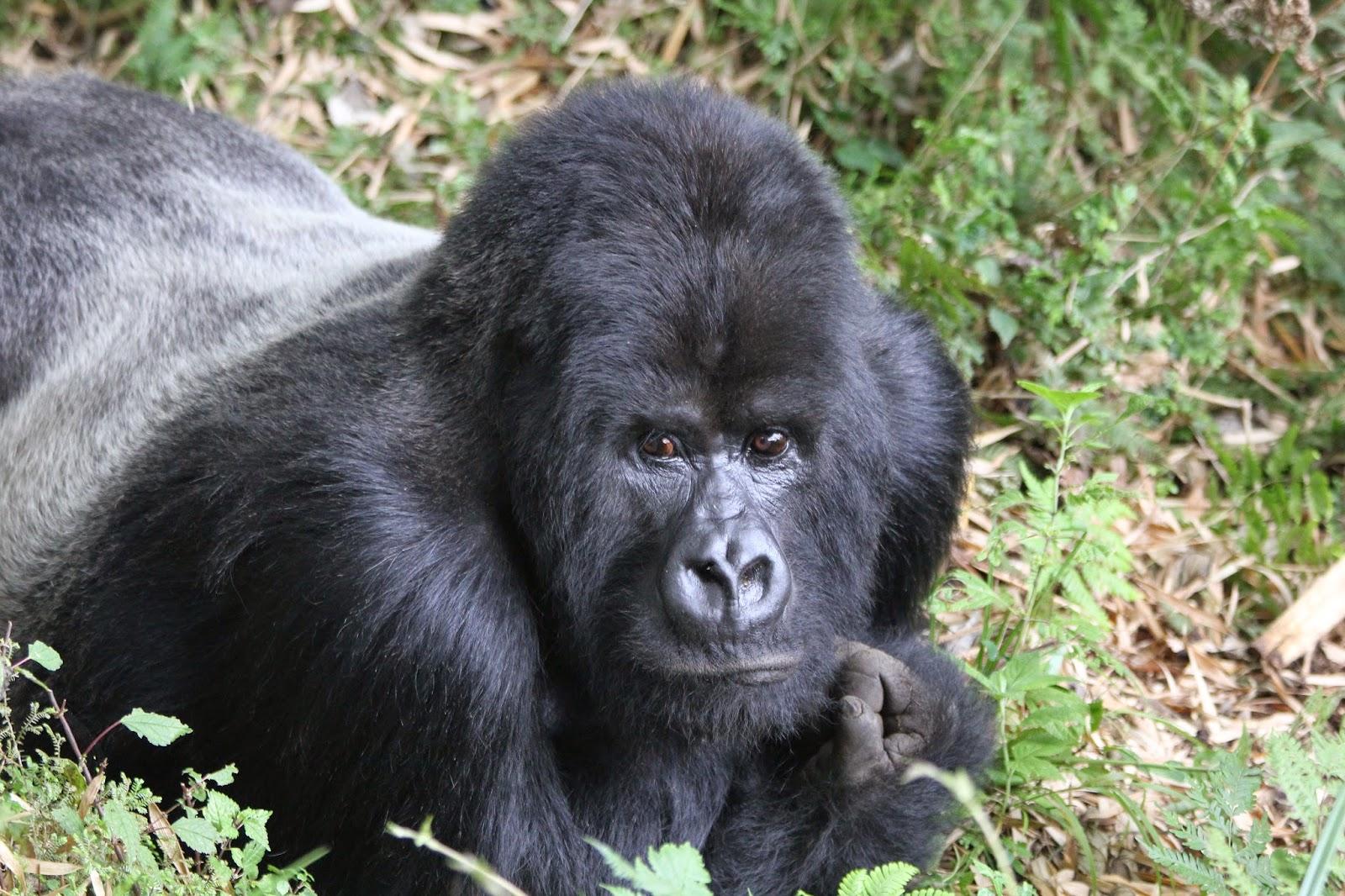 Guhonda, oldest Silverback mountain gorilla in Rwanda