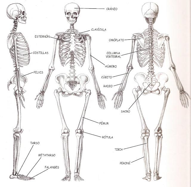 Biología humana : 2.2.1 Sistema musculo-esquelético